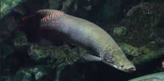 Arapaima gigas fish